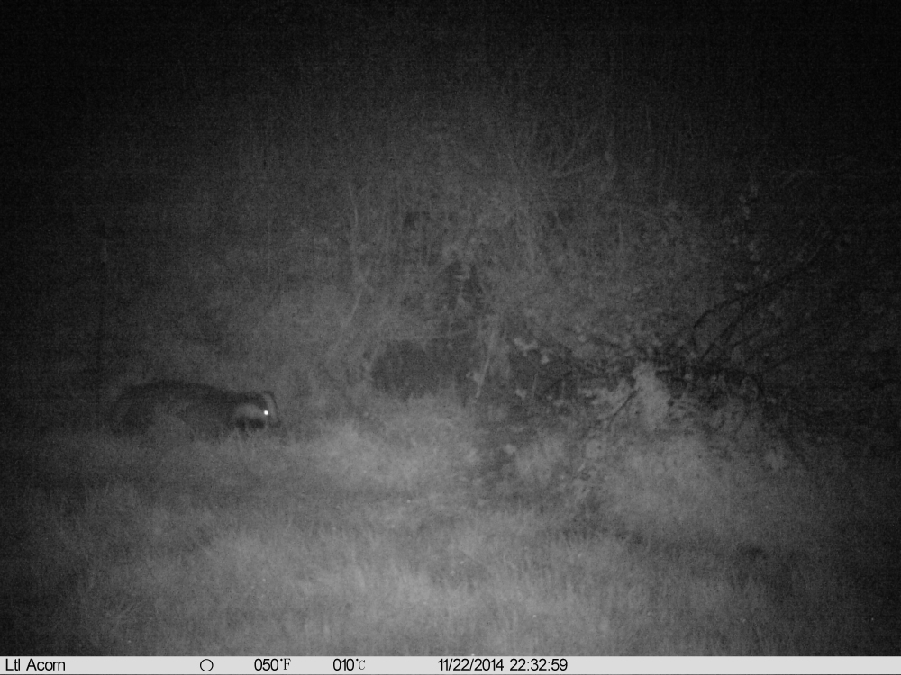 A badger on 2014.11.22 at 22:32